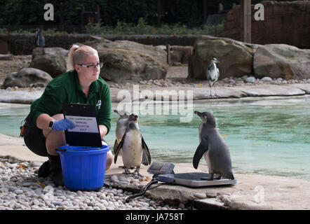 (170824) -- LONDON, Aug. 24, 2017 (Xinhua) -- A Humboldt penguin is weighed on scale at ZSL London Zoo's 2017 annual - Stock Photo