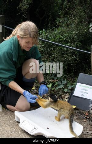 (170824) -- LONDON, Aug. 24, 2017 (Xinhua) -- A squirrel monkey is weighed on a scale at ZSL London Zoo's 2017 annual - Stock Photo