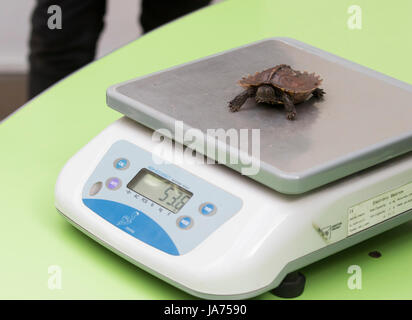 (170824) -- LONDON, Aug. 24, 2017 (Xinhua) -- A turtle is weighed during ZSL London Zoo's 2017 annual weigh-in event - Stock Photo