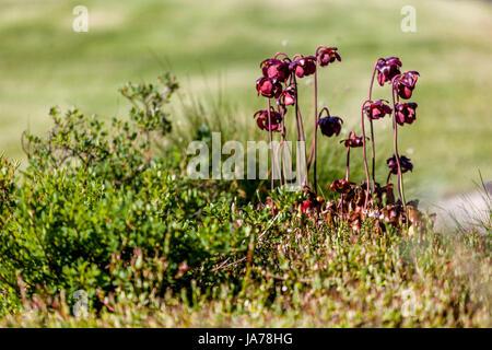 Sarracenia purpurea, Purple pitcher plant, northern pitcher plant, or side-saddle flower, is a carnivorous plant - Stock Photo