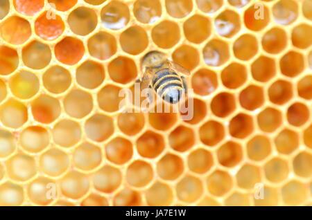 insect, apiary, honeycomb, bee, natural, macro, close-up, macro admission, - Stock Photo