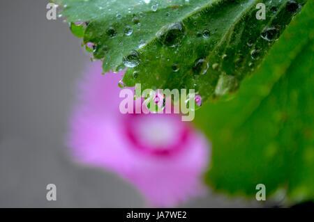 Nelken  Spiegelung im Wassertropfen, - Stock Photo