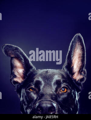 Studio portrait of German Shepherd mix -- from the eyes up-- looking directly at camera. - Stock Photo