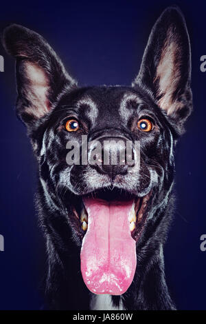 Animated studio portrait of a cute black German Shepherd mix smiling at camera with tongue extended. - Stock Photo