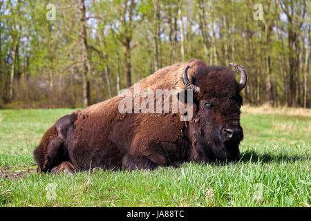 A majestic bison lying down in a grazing field. - Stock Photo