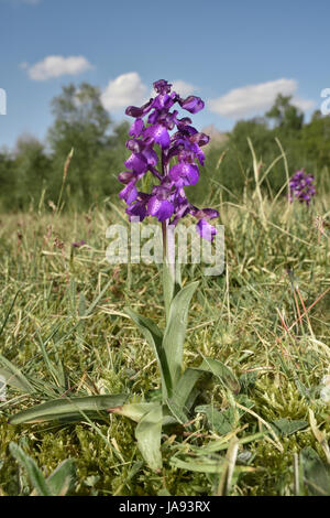 Green-winged Orchid - Anacamptis morio - Stock Photo