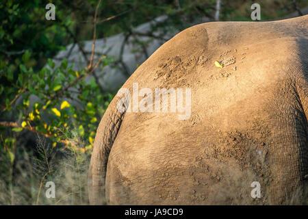 Muddy backside of white rhinoceros, Ceratotherium simum, Sabi Sands safari game reserve, Greater Kruger National - Stock Photo