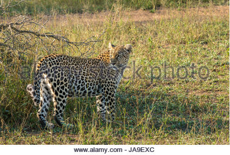 Patient mother leopard, Panthera pardus pardus, waits for her cubs, Sabi Sands Safari game reserve, Kruger, South - Stock Photo