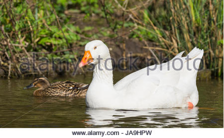 Embden goose (Anser anser domesticus) floating on a lake in early Spring in the south of England, UK. - Stock Photo