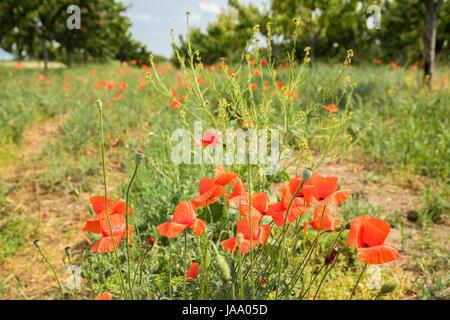Poppy flowers in the field - Stock Photo