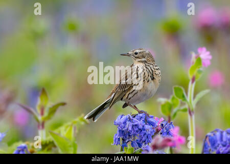 Bird amongst bluebells and campion. Meadow Pipit (Anthus pratensis) standing on bluebell (Hyacinthoides non-scripta). - Stock Photo