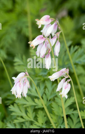 Pink flushed white flowers of the spring flowering woodland perennial, Dicentra formosa ssp oregana 'Langtrees' - Stock Photo