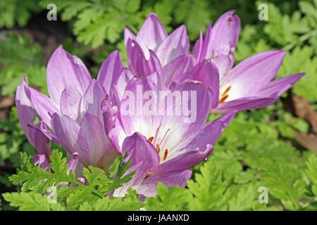 blütenkelche of colchicum speciosum - Stock Photo