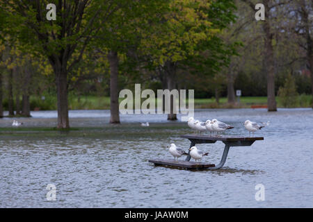 Ring-billed gulls 'Larus delawarensis' standing on a park bench surrounded by flood water at a flooded park caused - Stock Photo