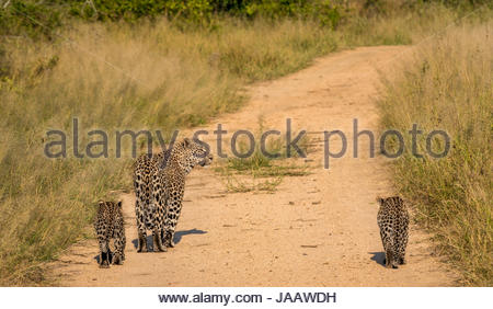 Mother leopard and cubs, Panthera pardus pardus, walking on dirt bush track, Sabi Sands Safari game reserve, Kruger, - Stock Photo