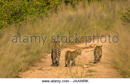 Female leopard and cubs, Panthera pardus pardus, walking on bush track, Sabi Sands Safari game reserve, Greater - Stock Photo
