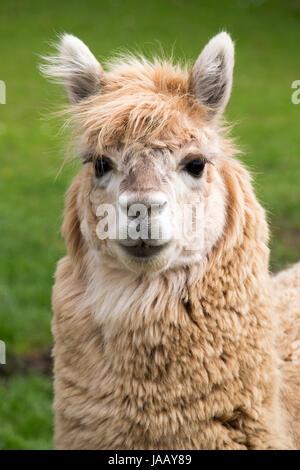 Alpaca in captivity - Stock Photo