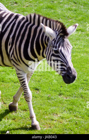 zebra in a meadow in an animal park in France - Stock Photo