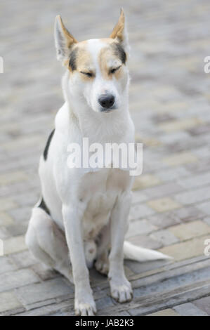 Nice portrait of stray cross-breed white dog drowsing while sitting on a street - Stock Photo