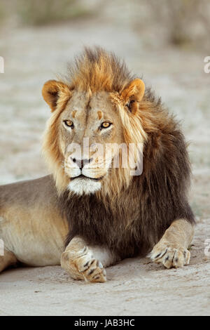 Portrait of a big male African lion (Panthera leo), South Africa - Stock Photo