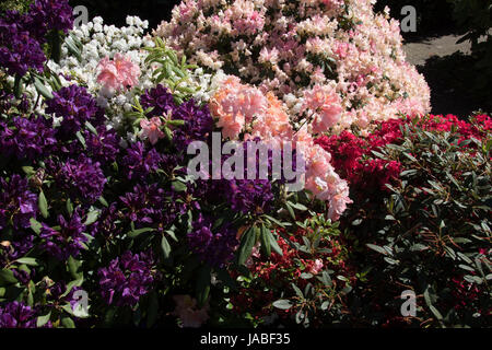 assorted azaleas & rhododendrons - Stock Photo