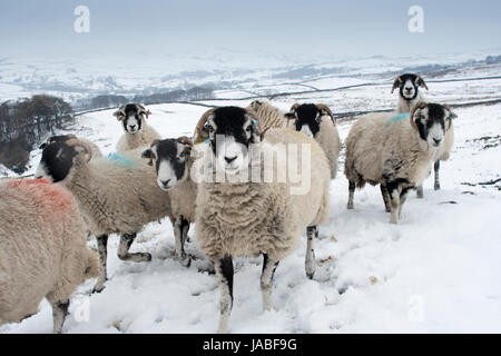 Flock of swaledale sheep in snow. North Yorkshire, UK. - Stock Photo