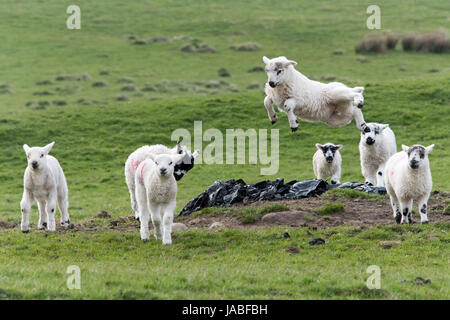Young lambs playing in fields, spring, North Yorkshire, UK. - Stock Photo