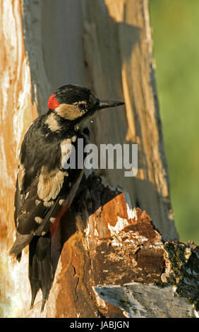 Male of Greater Spotted Woodpecker looking for insects in a rotten birch bush on a beautiful sunny May morning. - Stock Photo