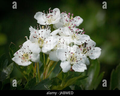 Close up of hawthorn blossom - Stock Photo