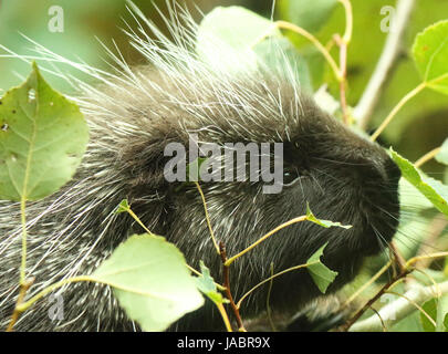 A portrait of a Porcupine feeding in a Cottonwood tree. - Stock Photo