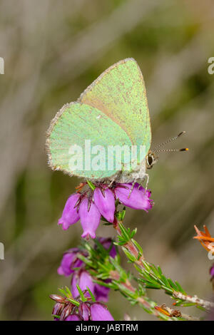 Close-up of green hairstreak butterfly (Callophrys rubi) on colourful bell heather (Erica cinerea) - Stock Photo