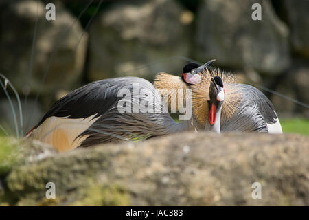 Kronenkranich, crowned crane in nature - Stock Photo