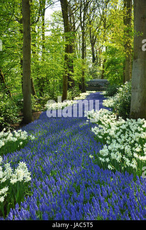 Grape Hyacinth and white daffodils in Keukenhof park in Holland - Stock Photo