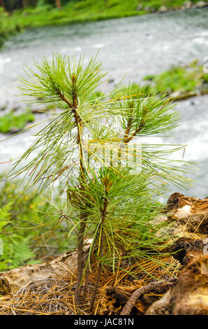 Small pine tree sapling growing in a forest - Stock Photo