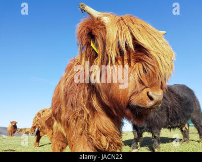 Close up of g highland cattle calf on a green meadow which tries to look through its head of hair. - Stock Photo