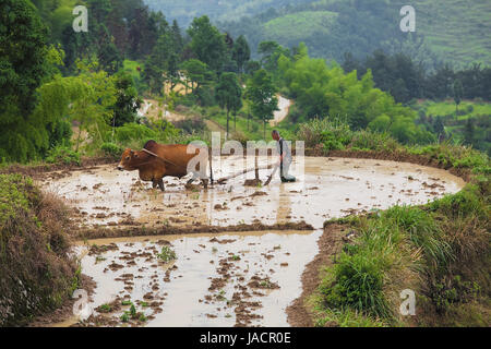 Wenzhou, China - June 14, 2015: Asian farmer working with his buffalo on terraced rice field in China - Stock Photo
