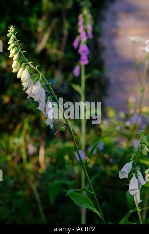 Digitalis Purpurea Alba in Evening Sunlight - Stock Photo