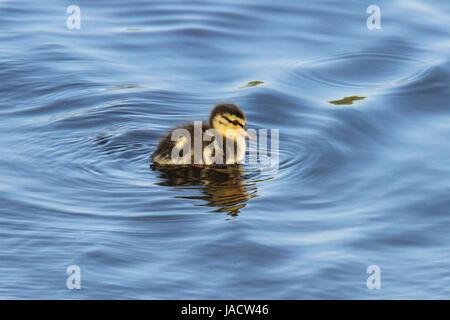 A little mallard duckling swimming on a pond - Stock Photo
