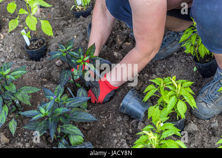 Planting young peppers in the ground, vegetable garden - Stock Photo