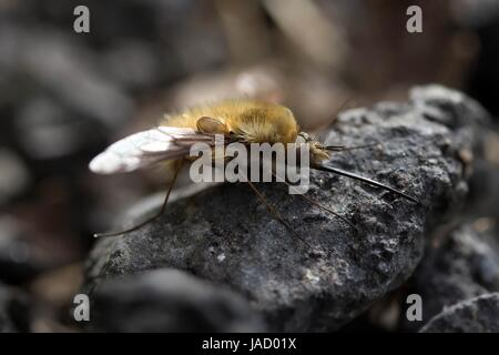 large wool slider / bee fly - Stock Photo