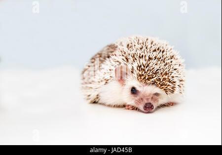 Small hedgehog on white studio background squeezes eye - Stock Photo