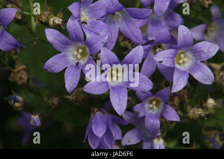 Campanula portenschlagiana or the Bellflower.  An excellent plant for massed colour in mixed borders.  Also sometimes - Stock Photo