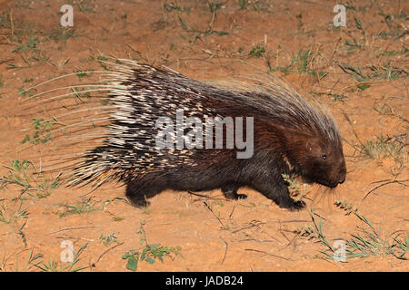 Cape porcupine (Hystrix africaeaustralis), South Africa - Stock Photo