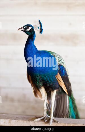 A peacock standing inside a barn.