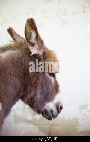 A miniature donkey. - Stock Photo