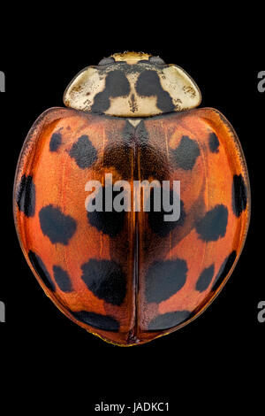 Top view of a multicolored Asian lady beetle. - Stock Photo