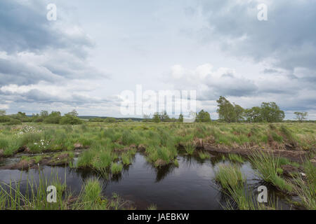 Hochmoor Hohes Venn mit Tümpeln und Wollgras in Belgien