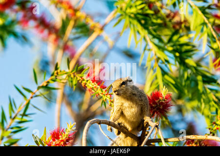 Grey color Squirrel sits on tree branch looking away with colorful background of bright green foliage and blue sky - Stock Photo