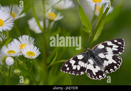 Marbled White butterfly on Erigeron Daisy