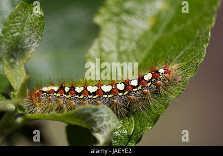 Poplar Satin Moth caterpillar, Leucoma salicis - Stock Photo